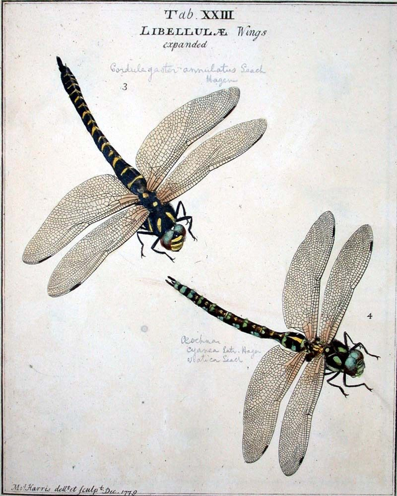 "Moses HARRIS, ""An exposition of English insects"",Pl. XXIII,  https://upload.wikimedia.org/wikipedia/commons/4/45/Moses_Harris01.jpg"