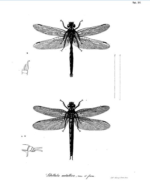 Libellula metallica, Charpentier 1840, numérisation Google