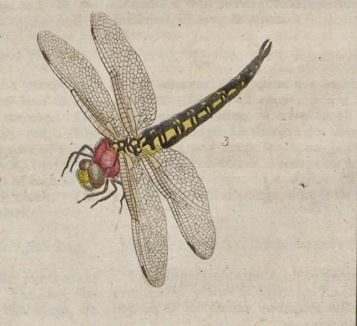 HARRIS, M. 1776-[1780]. An exposition of English insects, planche XVII fig 3, GDZ.