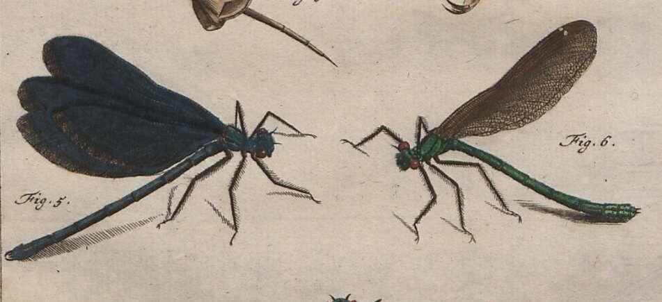 Roesel, 1749,Insecten belustigung,volume 2  pl.IX. fig. 5 (à gauche).