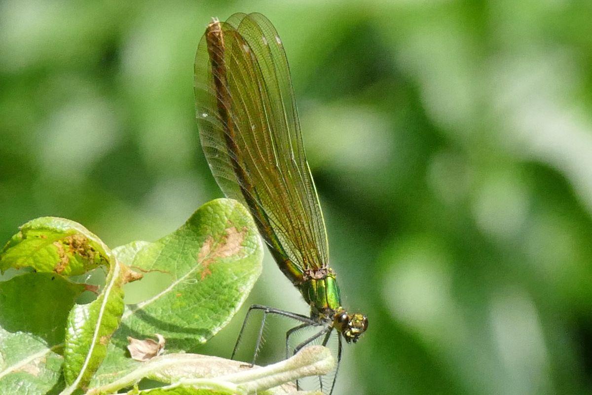 Calopteryx virgo femelle, Poraon (Crozon). Photographie lavieb-aile 29 mai 2018.