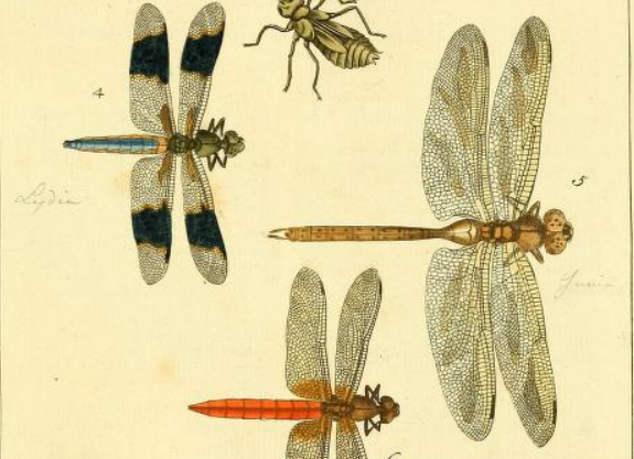 Drury 1770, planche XLVII figure 5 : https://www.biodiversitylibrary.org/item/125982#page/243/mode/1up