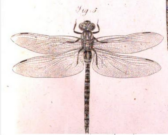 Aeshna affinis, Vander Linden 1823 planche IV figure 3, Opusculi scientifici  p. 162 https://books.google.fr/books/about/Opuscoli_scientifici.html?id=kcQ-AAAAYAAJ&redir_esc=y