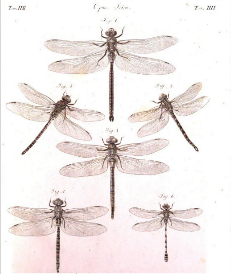 Aeshnae bononienses, Vander Linden 1823 planche IV figure 3, Opusculi scientifici  p. 162 https://books.google.fr/books/about/Opuscoli_scientifici.html?id=kcQ-AAAAYAAJ&redir_esc=y