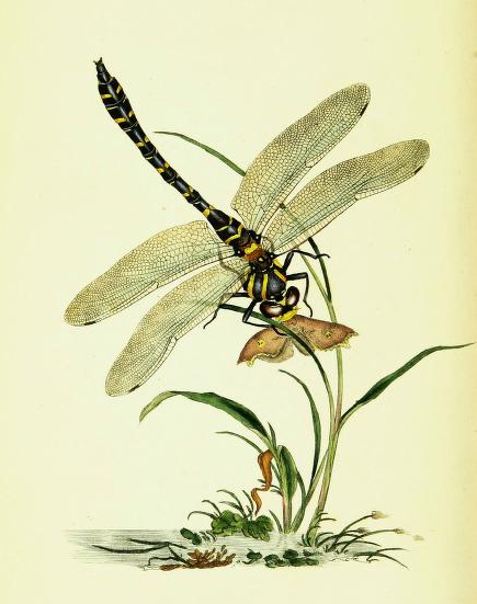https://www.biodiversitylibrary.org/item/132000#page/55/mode/1up