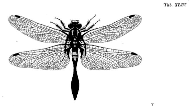 L. caudalis, mâle, in Charpentier 1840 planche 44  https://books.google.fr/books?id=inVPAAAAYAAJ&dq=Toussaint+