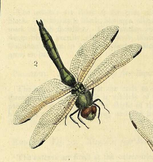 Harris, Exposition des insectes qui se trouvent en Angleterre pl. 27 fig.2 https://www.biodiversitylibrary.org/item/226006#page/152/mode/1up