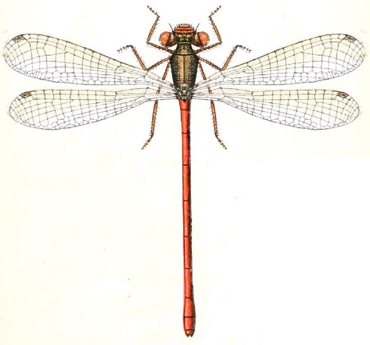 Ceriagrion tenellum par Lucas 1900.