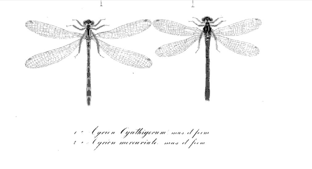 Zoonymie des Odonates : étude des noms du Coenagrion mercuriale.