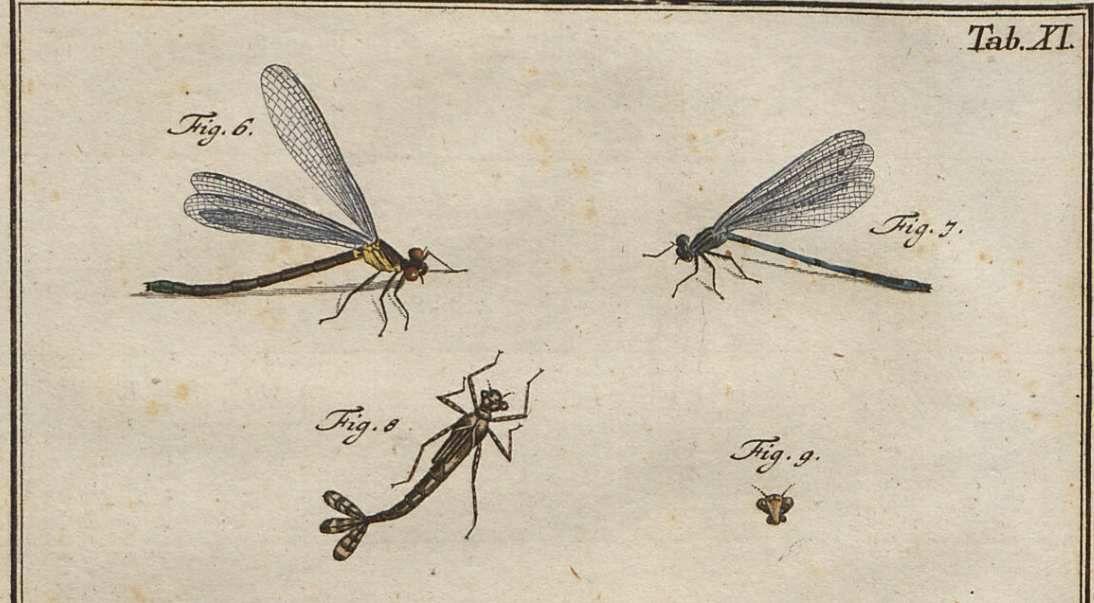 Roesel, 1749, Insecten belustigung,2. aqv. planche XI.