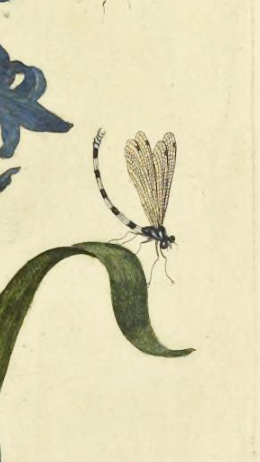 Merian 1730 https://archive.org/stream/gri_33125008530400#page/n161/mode/2up