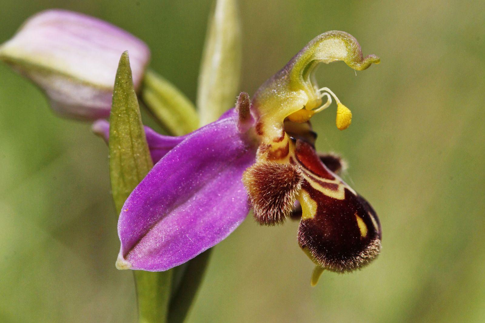 Ophrys apifera, Crozon, 23 mai 2020. Photographie lavieb-aile.