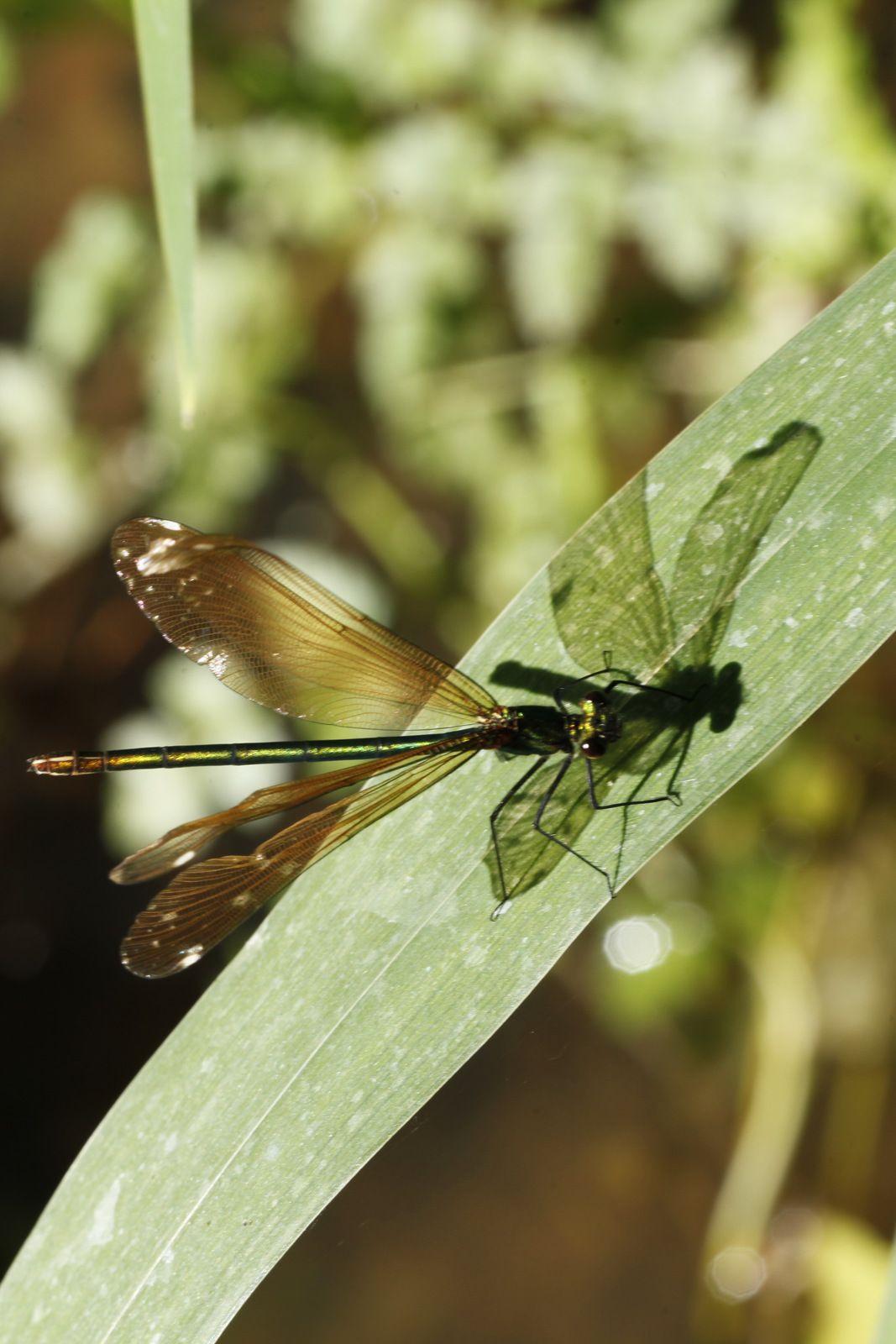 Calopteryx virgo femelle, Pont Gaulois, Crozon. Photographie lavieb-aile 30 mai 2020.