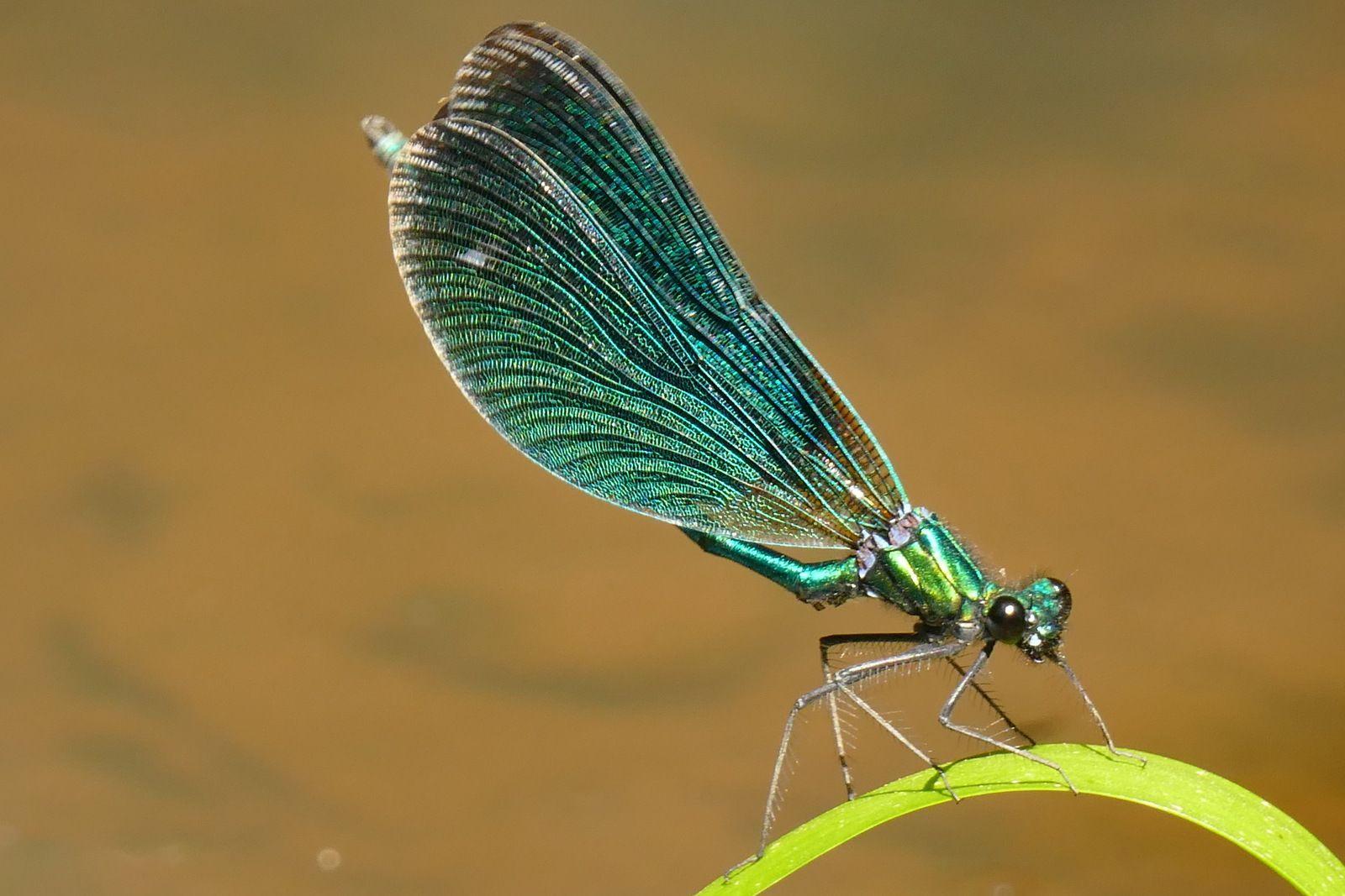 Calopteryx vierge, Crozon. Photographie lavieb-aile 28-30 mai 2020.