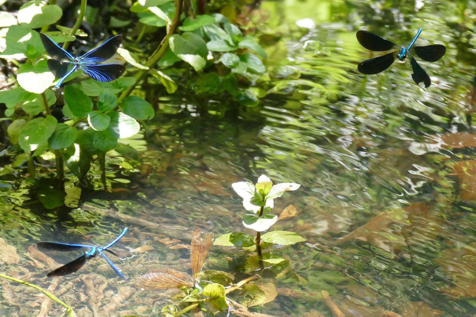 Calopteryx virgo, Kervon, ruisseau de Kerloc'h. Photographie lavieb-aile mai 2020.