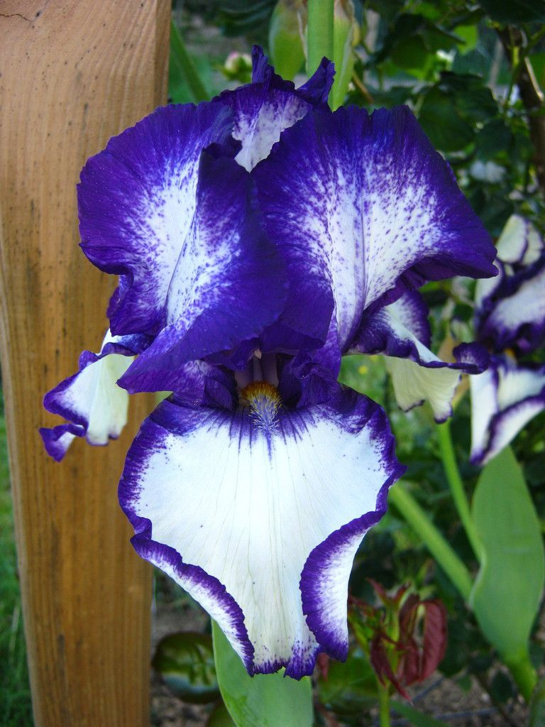 iris germanica 'Loop the loop'
