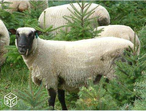 """Mouton avec """"courtes-oreilles"""" Photo Charles GUILLOT"""