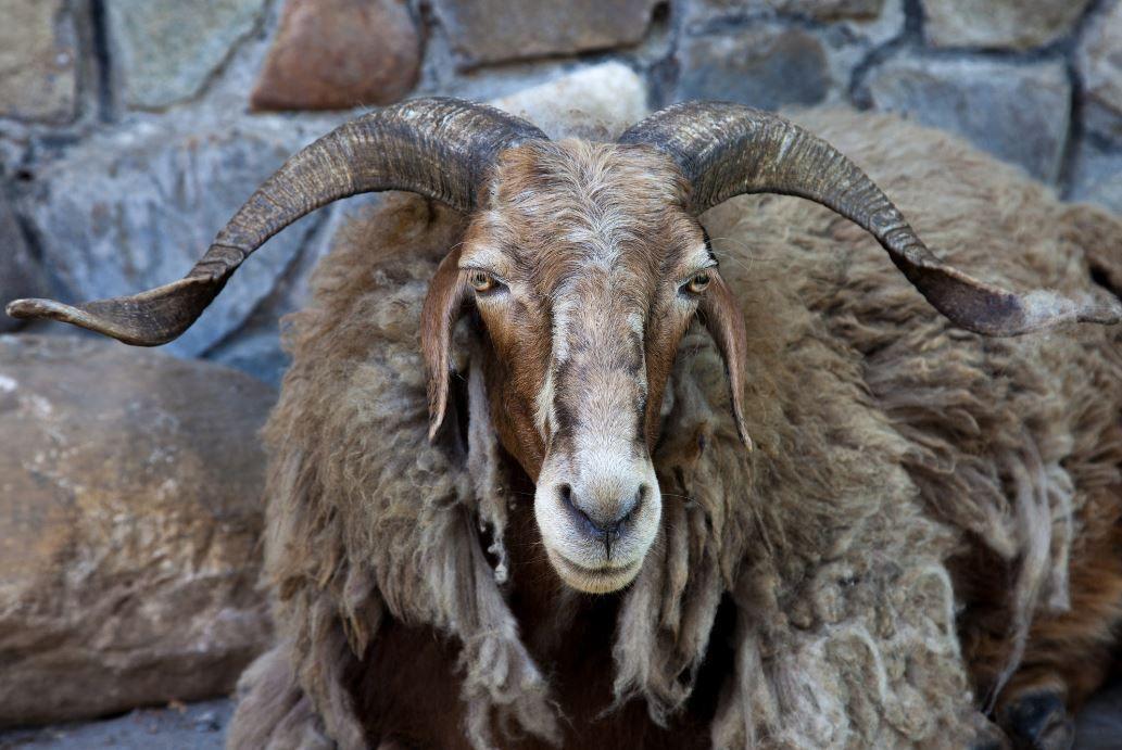 chèvre (ou mouton ?) du Népal © John Spies
