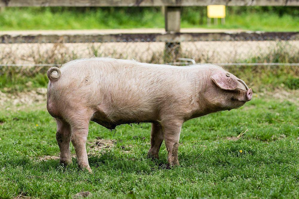 Porc Blanc de l'Ouest  Écomusée du pays de Rennes Wikipedia Édouard Hue