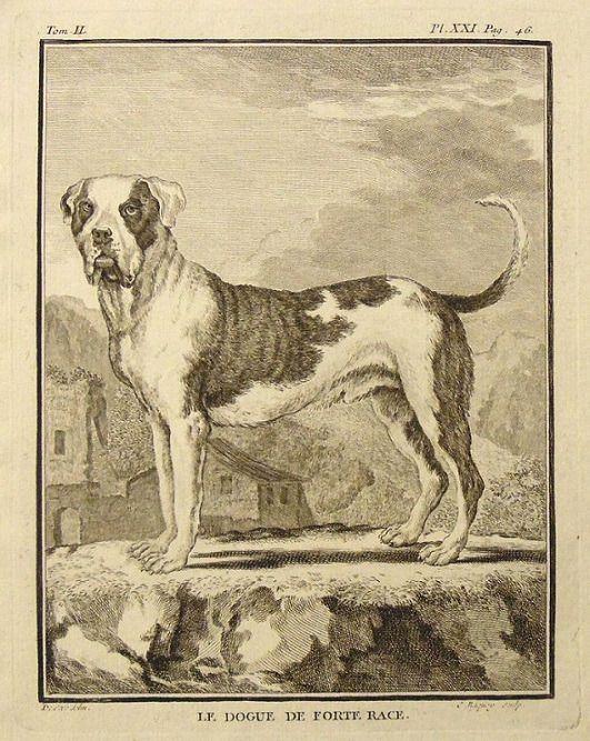« Le dogue de forte race », illustration de Jacques de Sève (actif de 1742 à 1788) publiée dans L'Histoire naturelle, générale et particulière, avec la description du Cabinet du Roy de Georges-Louis Leclerc, comte de Buffon (1707-1788).