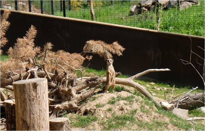 Les suricates, les nouveaux arrivants, cohabitent avec le porc épic !