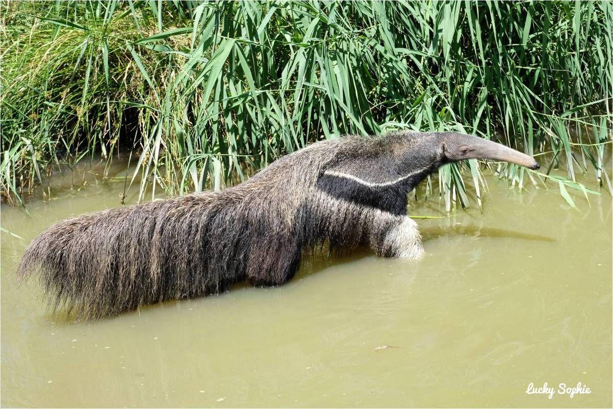 Le fourmilier à ne pas confondre avec le tapir !