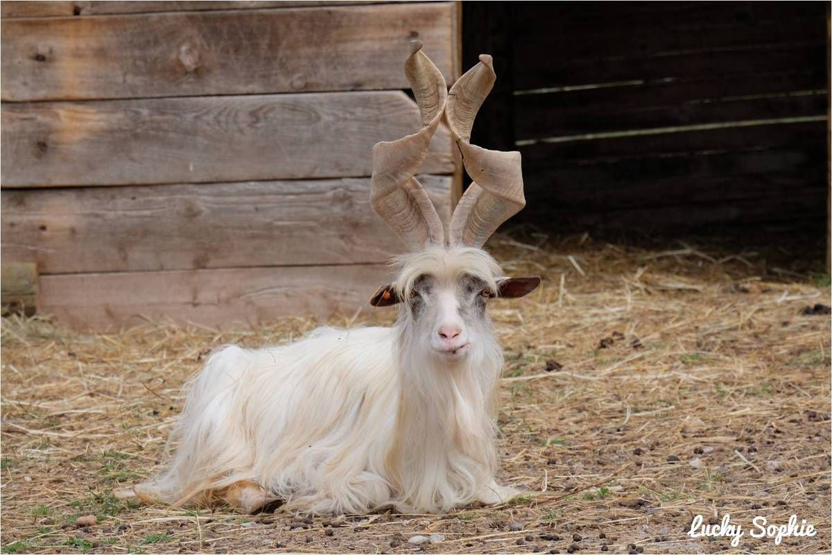 La rigolote chèvre de Girgentana de Sicile