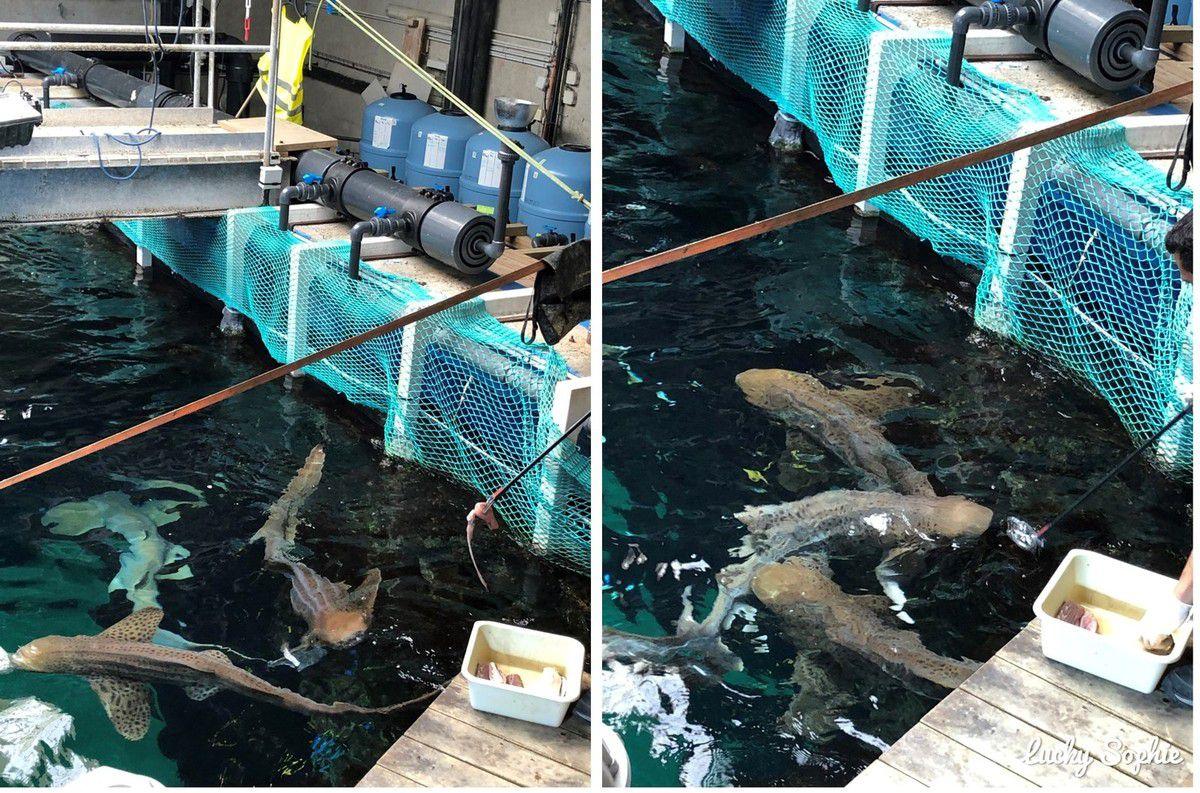 Etonnamment, le repas de tous les requins de la fosse tient dans une bassine !