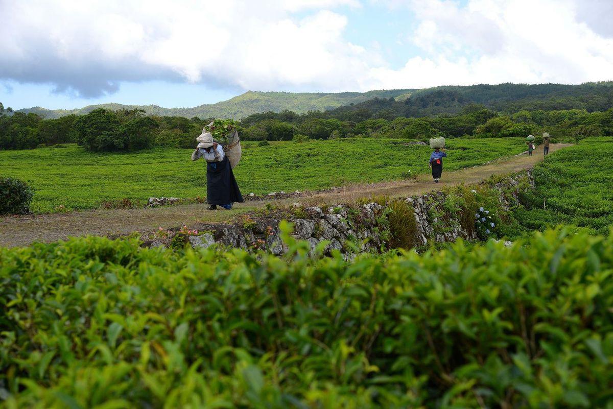 Maurice 2017 : les cueilleuses de thé de Bois Chéri ...