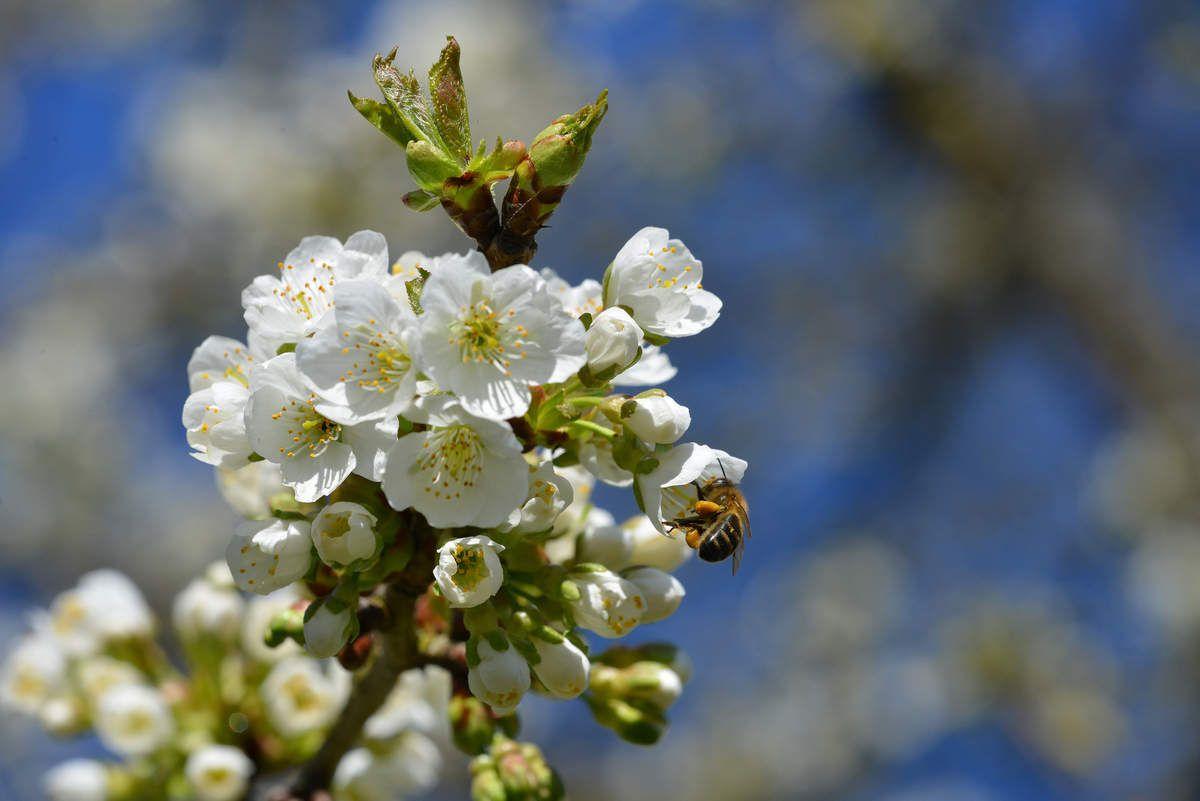 Les cerisiers déjà en fleur ...
