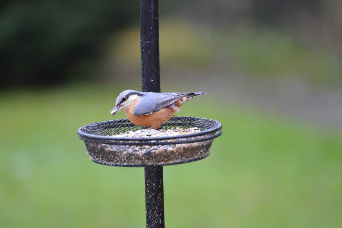 La sittelle torchepot , un bel oiseau ...