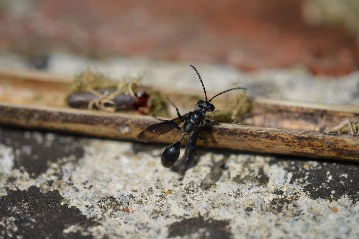 Isodontia mexicana : l'éclosion de la belle black ...