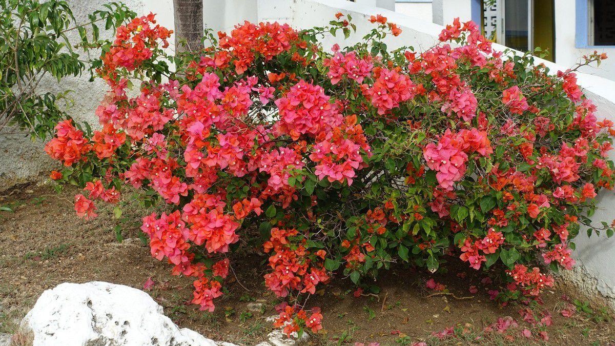 Jamaïque 2019 : quelques plantes et paps ...