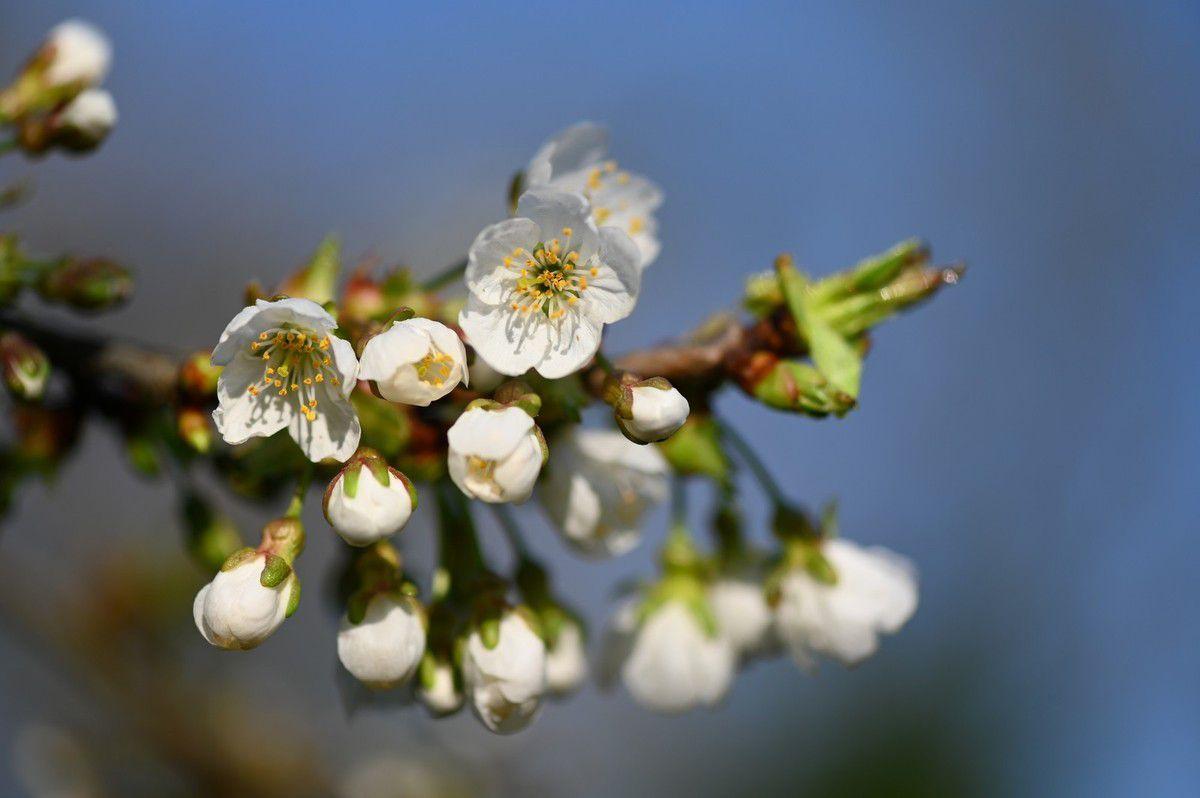 Cerisier ...