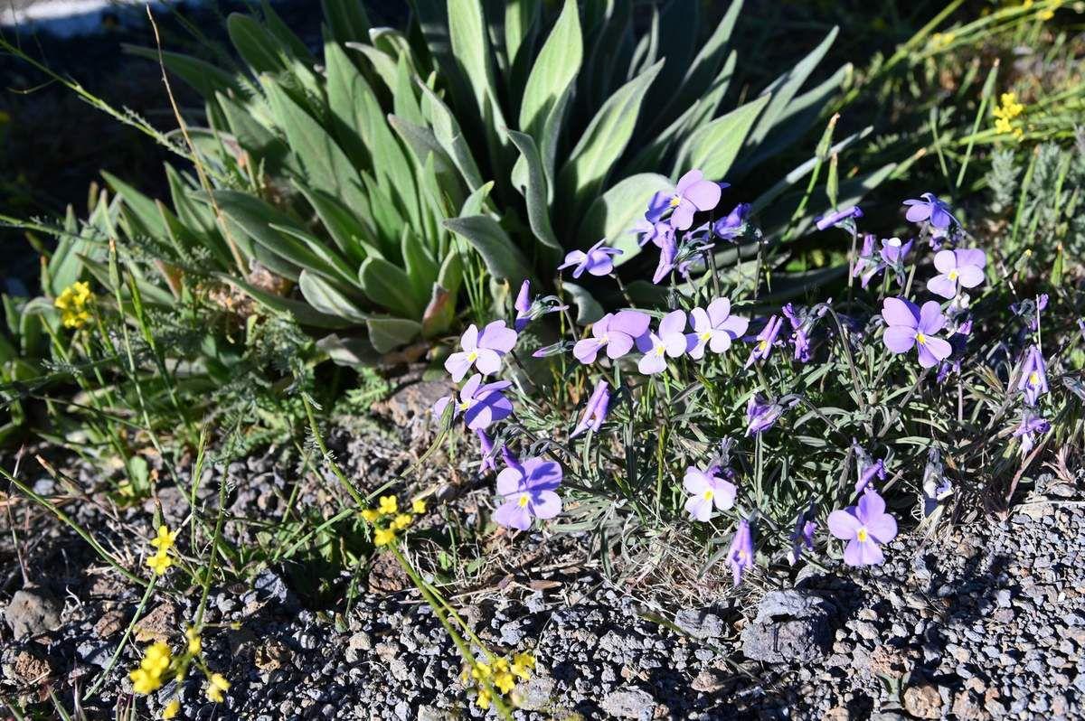 La Palma : des fleurs au dessus des nuages ...