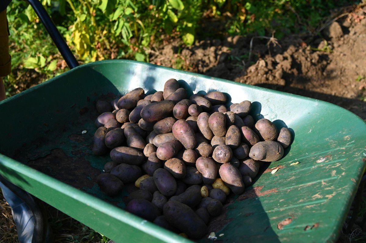 Récolte de pommes de terre 2019 ...