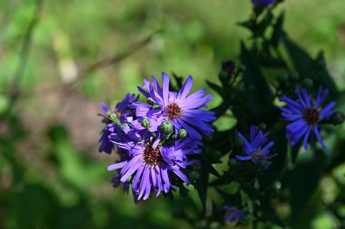 Asters ...