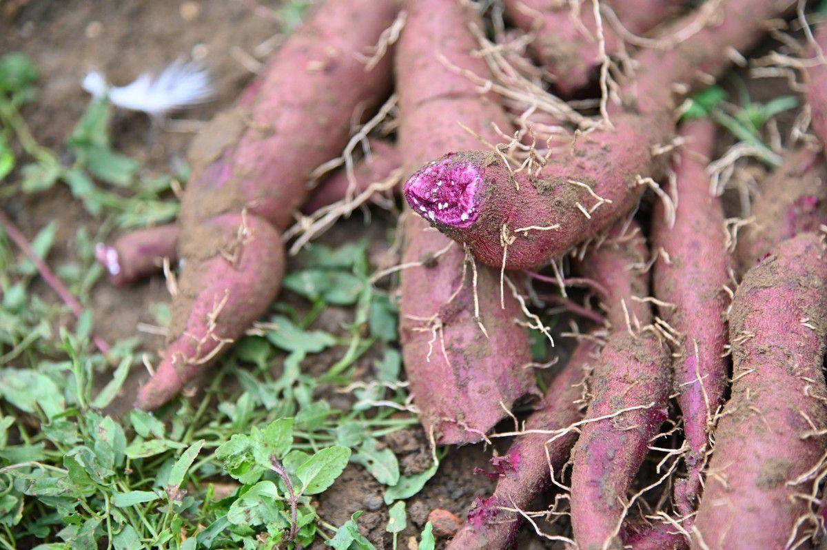 Premières patates douces de 2019 ...