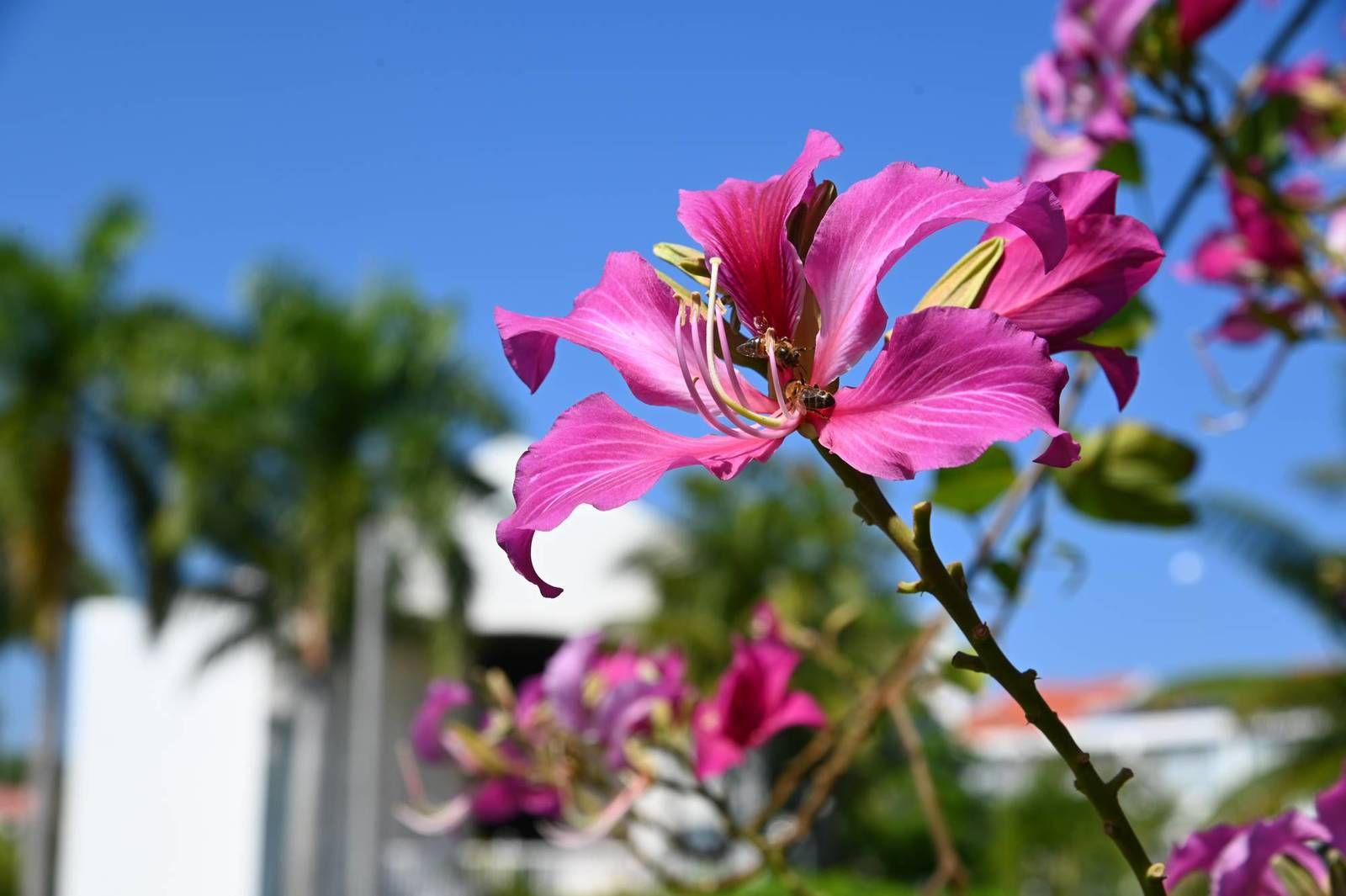 Puerto Plata 2020 : le Bauhinia , l'arbre à orchidée ...