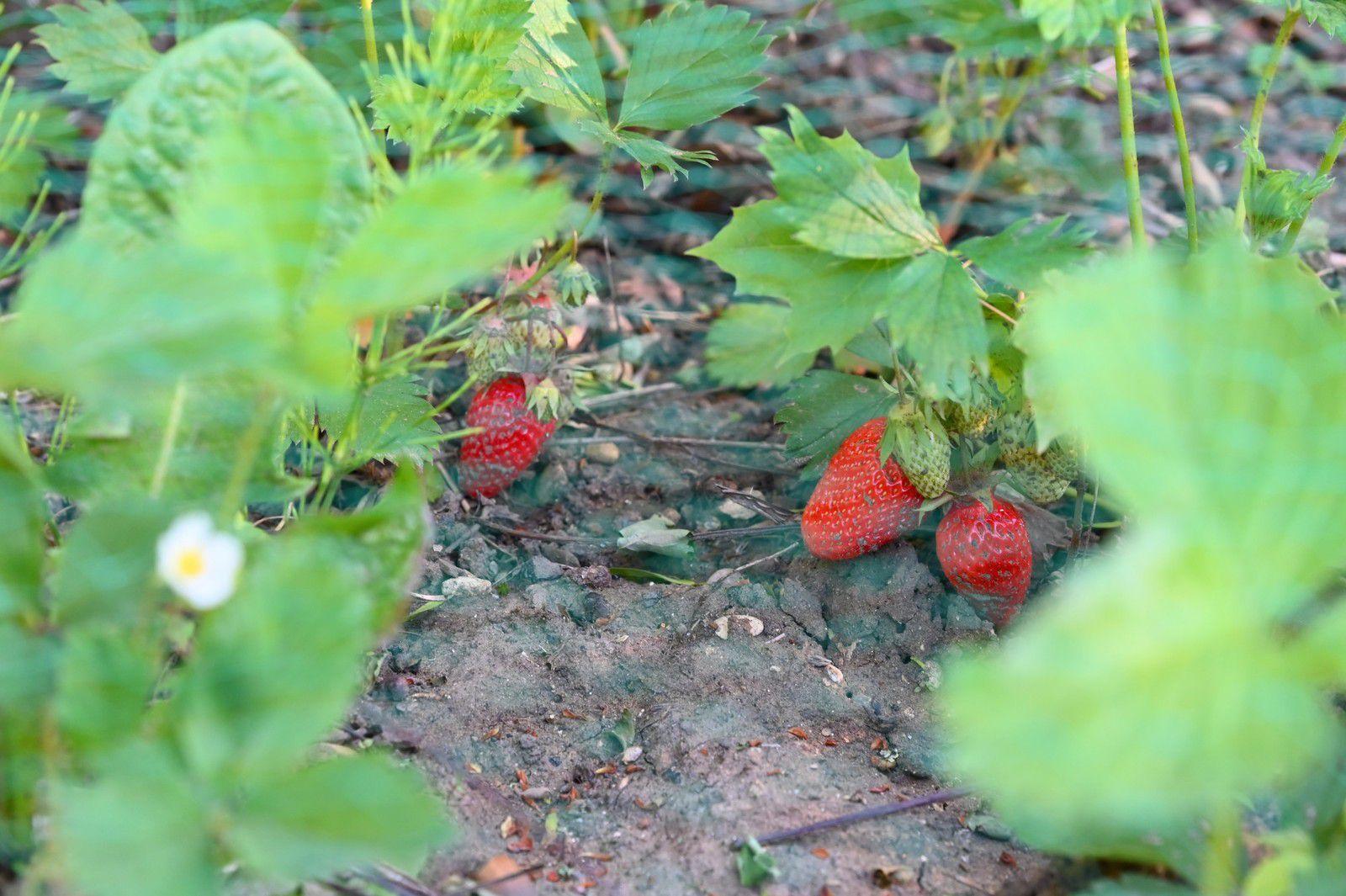 C'est parti pour les fraises ...