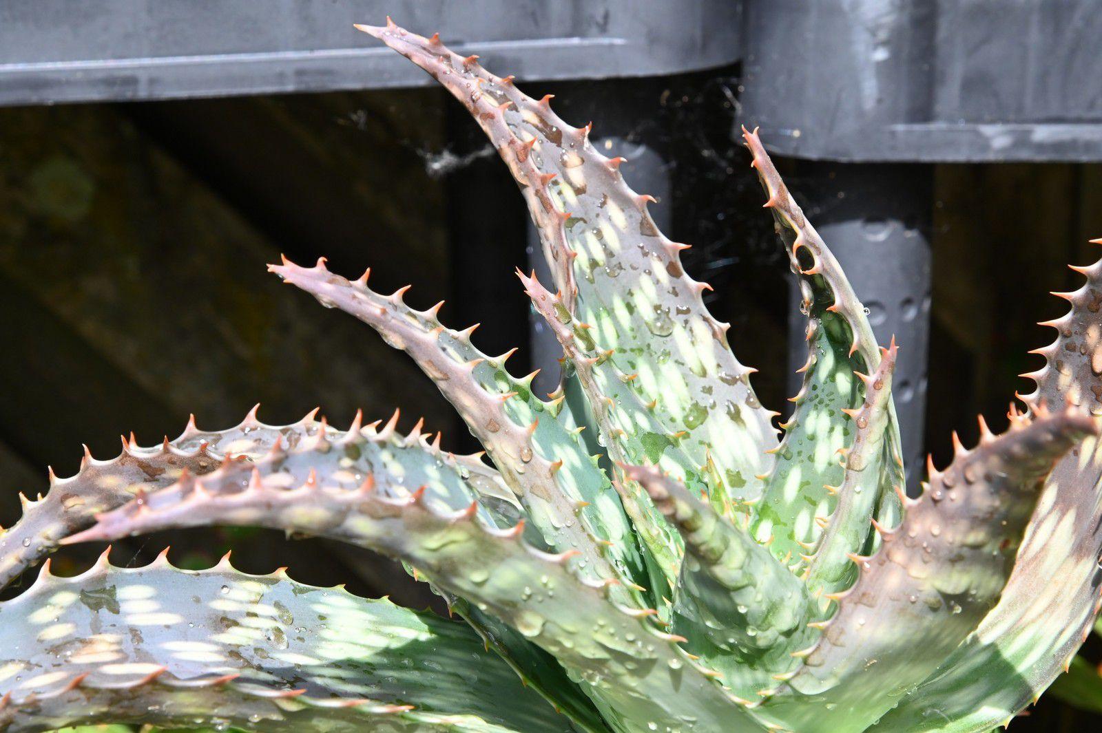 Ou l'Aloe se refait une beauté ...