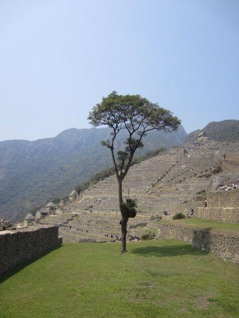 l'un des rares arbres a Machu Picchu
