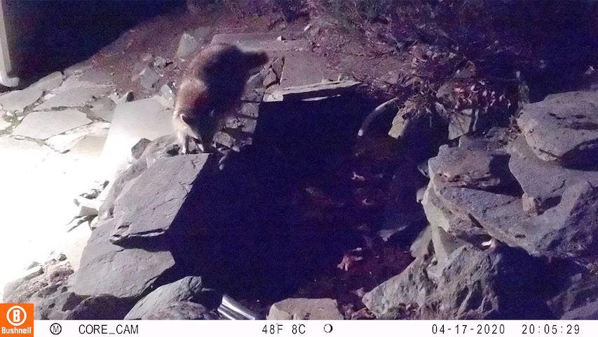 un raccoon (raton laveur), fouineur masqué qui opere la nuit