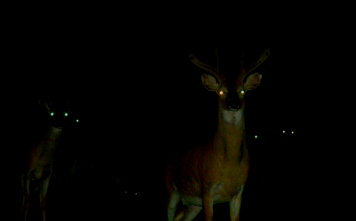 Nyctalope