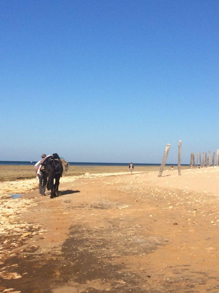 un mulet sur la plage