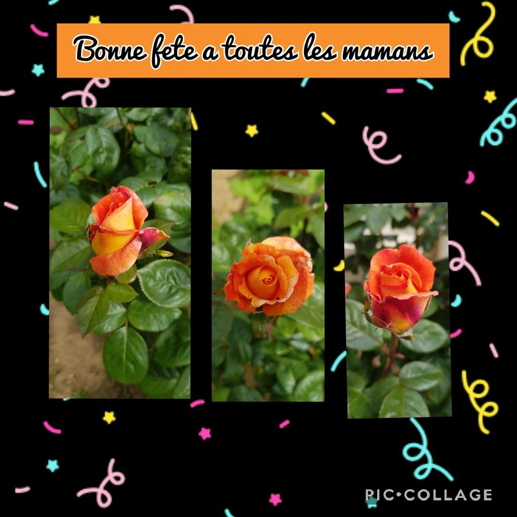Quelques roses Louis de Funès de mon jardin pour vous souhaiter à toutes une bonne fête des mamans sans oublier un baisé  volant à celles qui sont dans les étoiles.et merci pour m avoir souhaité  mon anniversaire hier