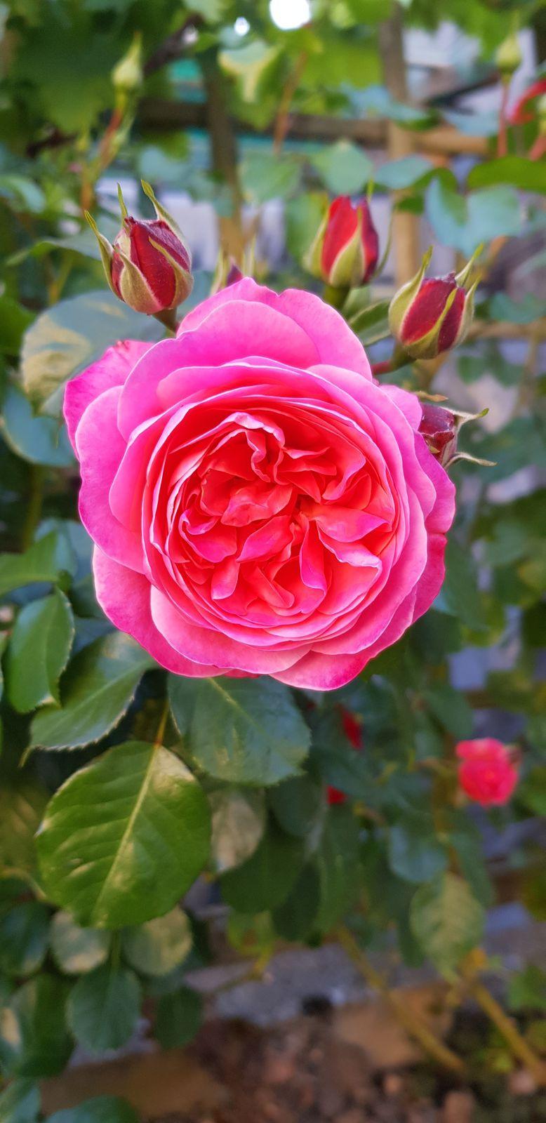C est un regal cette année  les roses dans le jardin elles deconfinement partout