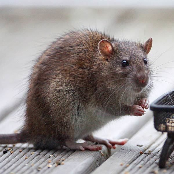 « There is no alternative » : faits comme des rats ?