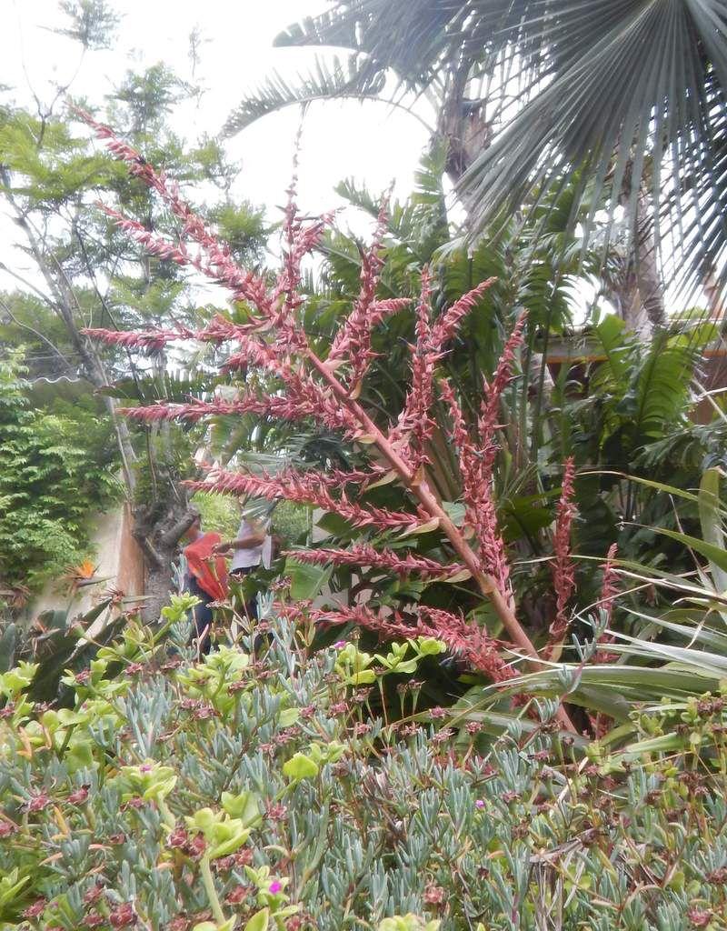 Broméliacée et chêne soyeux d'Australie