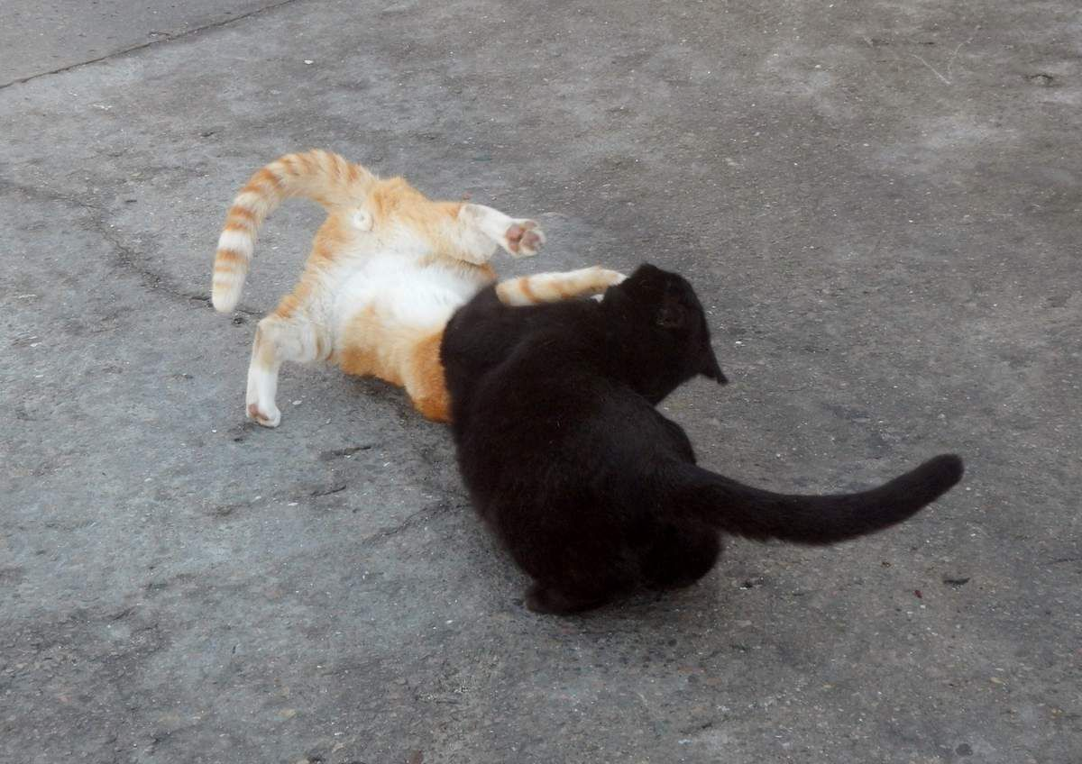 Chats jouent